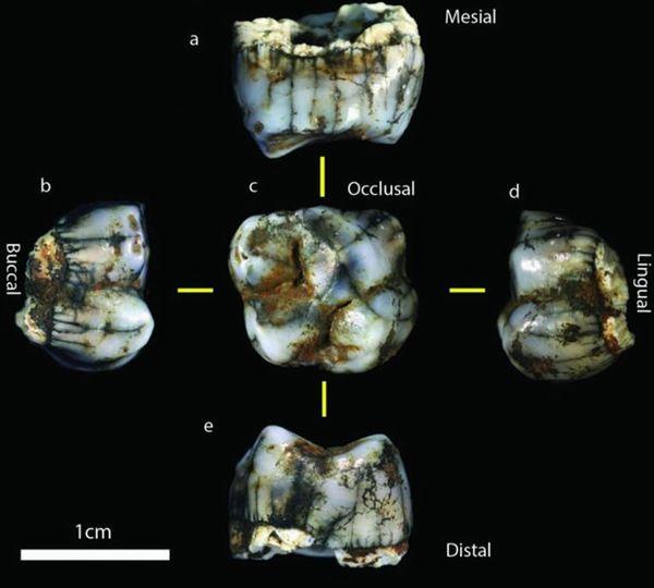 南非发现一颗新型人类臼齿 属于石器时代智人